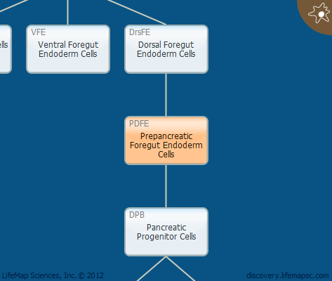 Prepancreatic Foregut Endoderm Cells