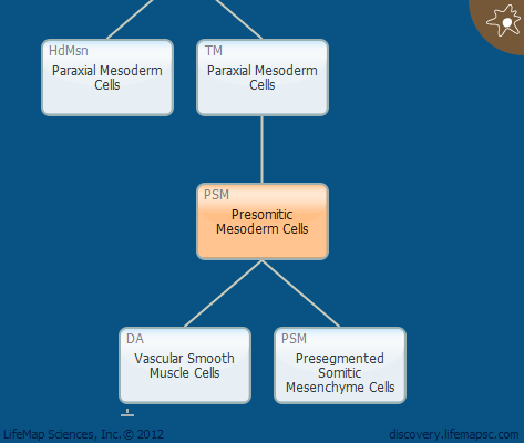 Presomitic Mesoderm Cells