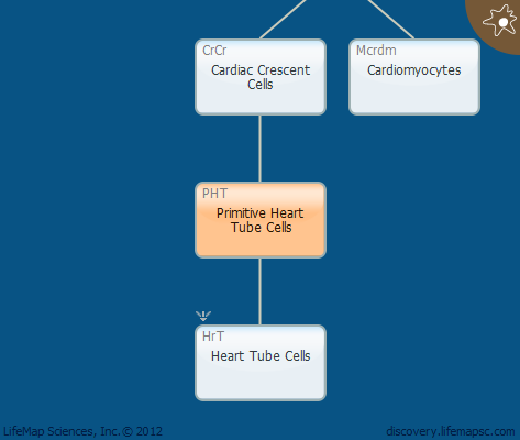 Primitive Heart Tube Cells