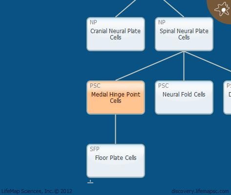 Medial Hinge Point Cells