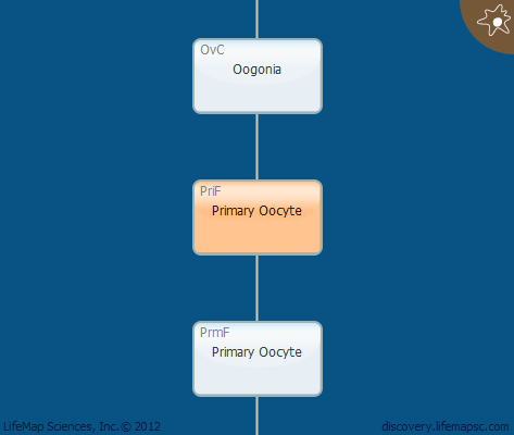 Primary Oocyte