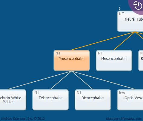 Prosencephalon