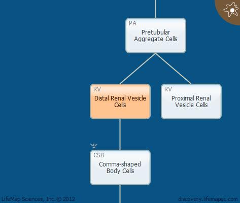 Distal Renal Vesicle Cells