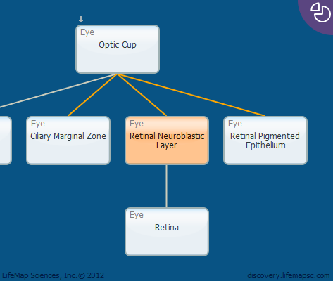 Retinal Neuroblastic Layer