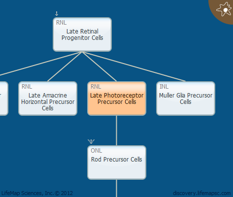 Late Photoreceptor Precursor Cells