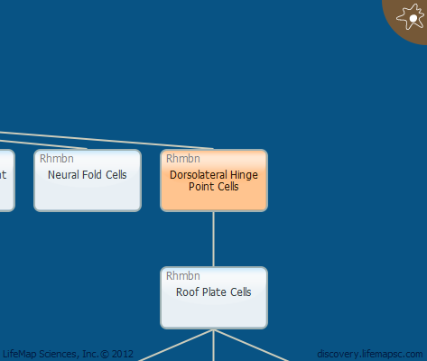 Dorsolateral Hinge Point Cells