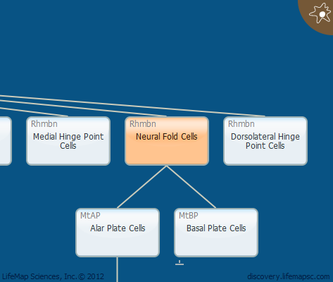 Neural Fold Cells