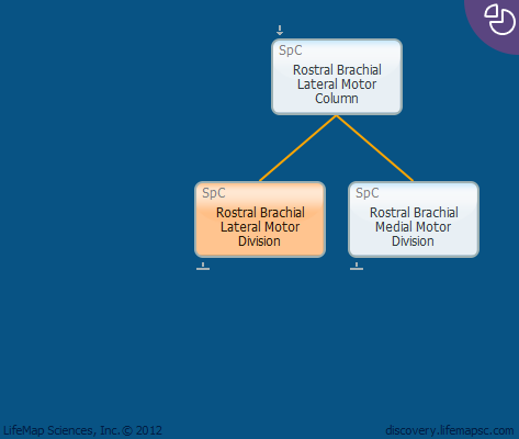 Rostral Brachial Lateral Motor Division
