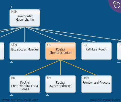 Rostral Chondrocranium
