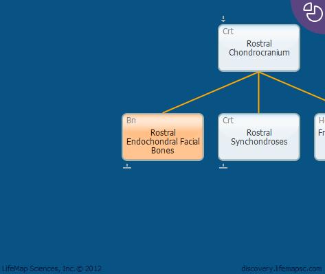 Rostral Endochondral Facial Bones