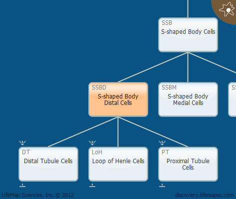 S-shaped Body Distal Cells