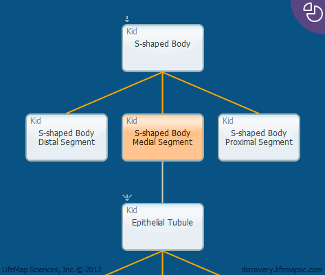 S-shaped Body Medial Segment
