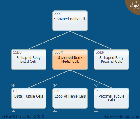 S-shaped Body Medial Cells