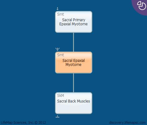 Sacral Epaxial Myotome