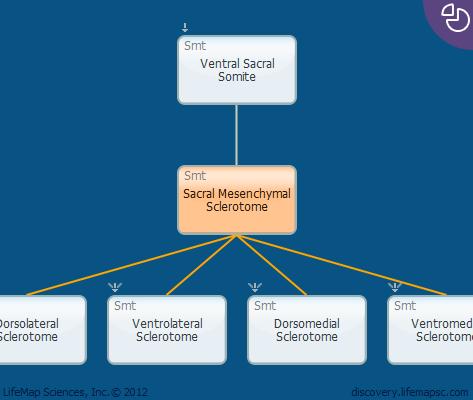Sacral Mesenchymal Sclerotome