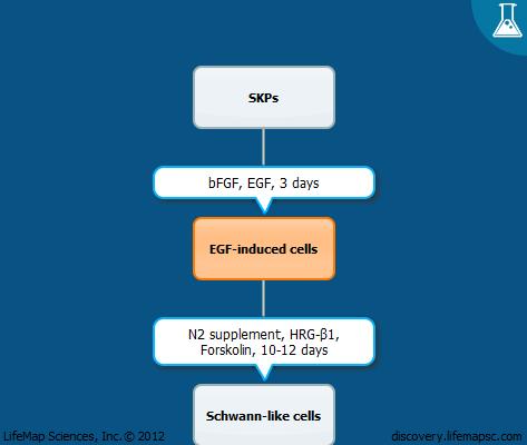 Schwann cell differentiation from skin-derived precursor cells