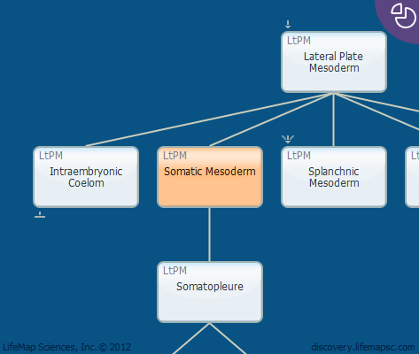 Somatic Mesoderm
