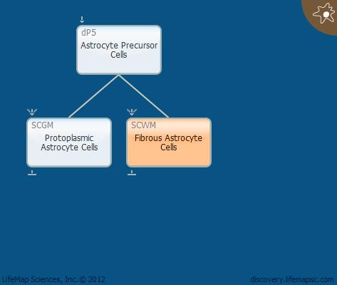 Fibrous Astrocyte Cells