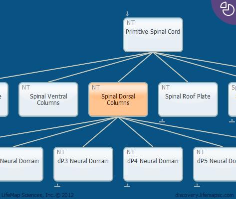 Spinal Dorsal Columns