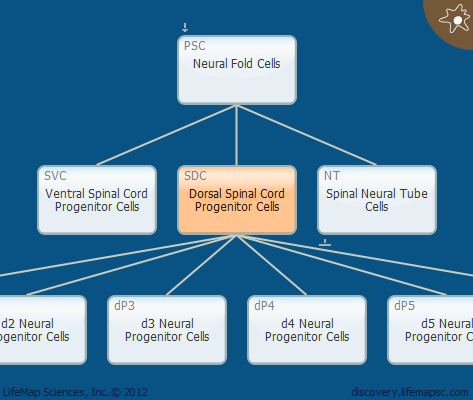 Dorsal Spinal Cord Progenitor Cells