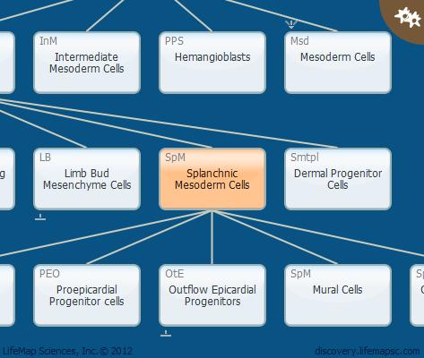 Splanchnic Mesoderm Cells
