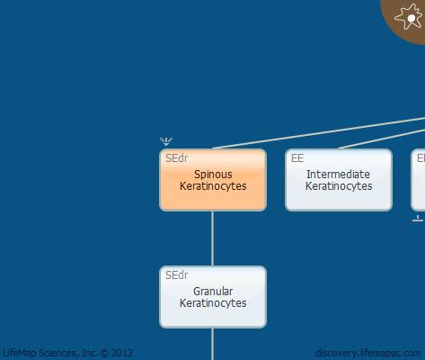 Spinous Keratinocytes
