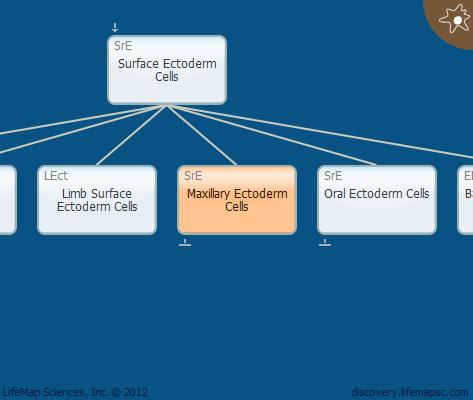 Maxillary Ectoderm Cells