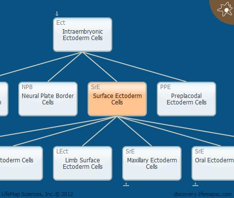 Surface Ectoderm Cells