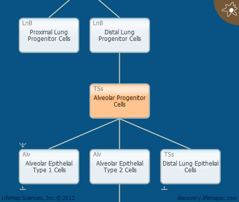 Alveolar Progenitor Cells