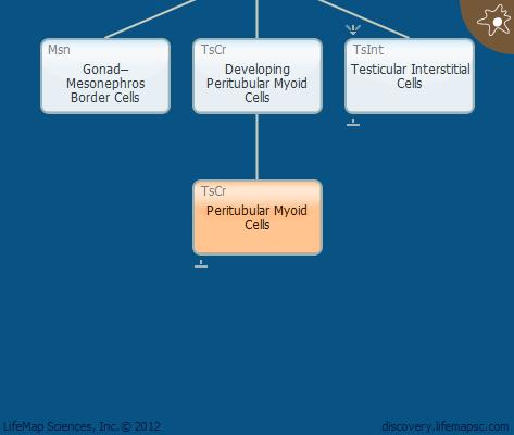 Peritubular Myoid Cells