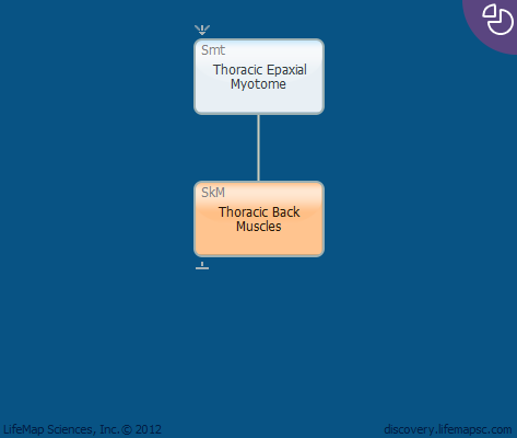 Thoracic Back Muscles