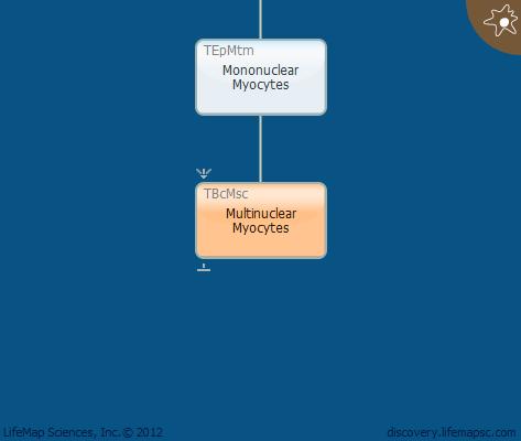 Multinuclear Myocytes