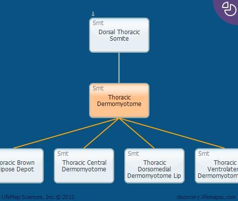 Thoracic Dermomyotome