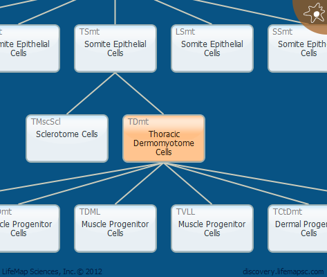 Thoracic Dermomyotome Cells