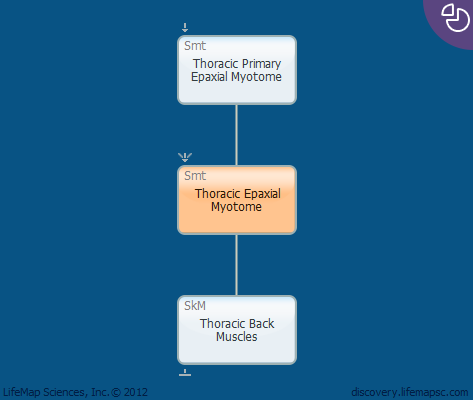Thoracic Epaxial Myotome