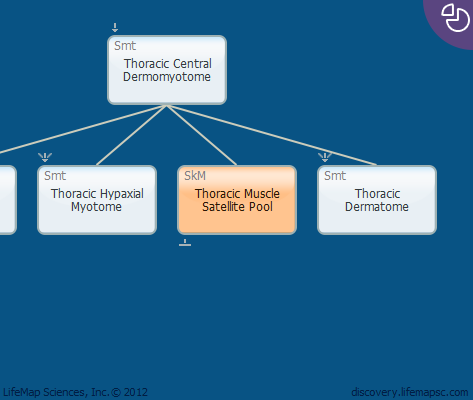 Thoracic Muscle Satellite Pool
