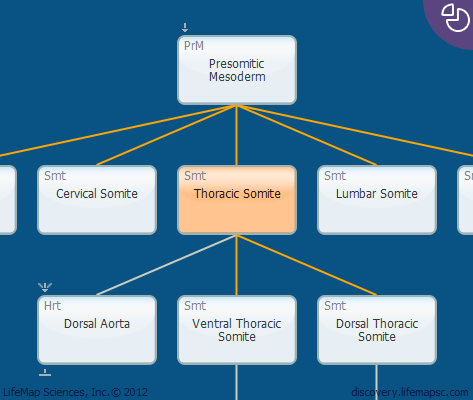 Thoracic Somite