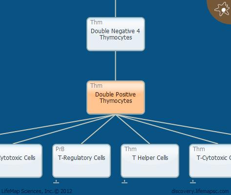 Double Positive Thymocytes