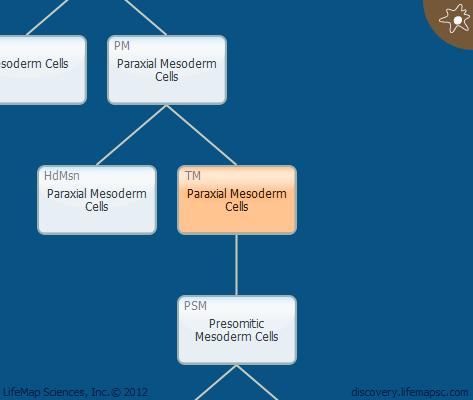 Paraxial Mesoderm Cells