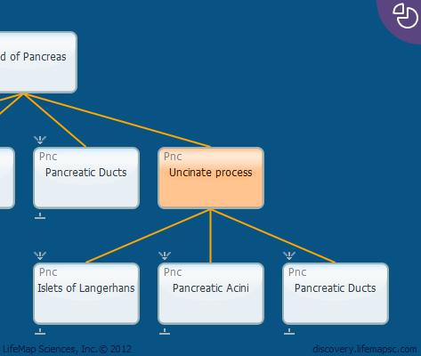 Uncinate process - Cellular Development, Function ... Uncinate Process Pancreas Anatomy