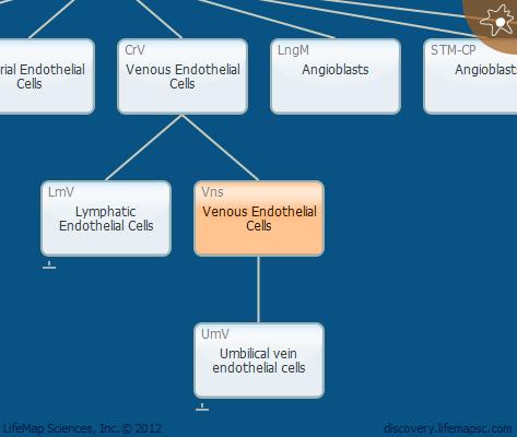 Venous Endothelial Cells