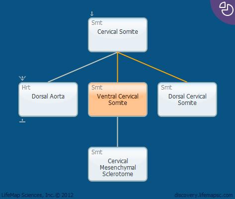 Ventral Cervical Somite