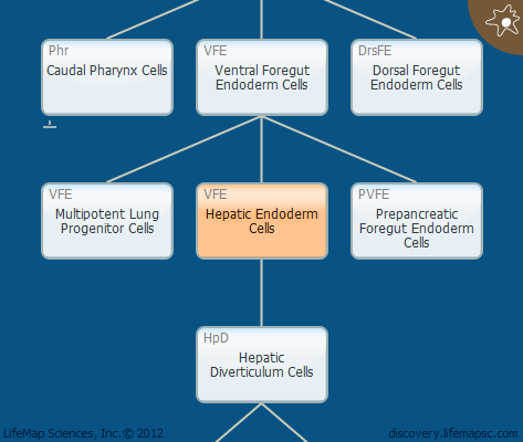 Hepatic Endoderm Cells