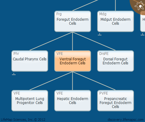 Ventral Foregut Endoderm Cells