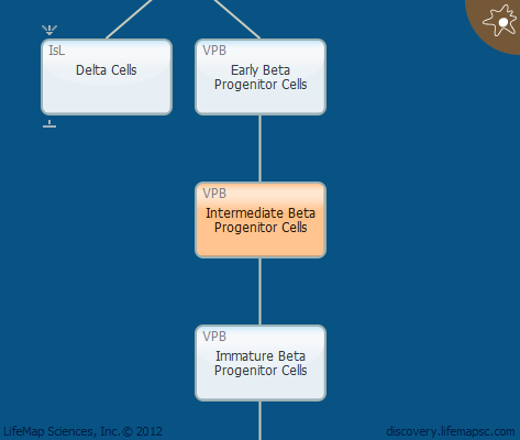 Intermediate Beta Progenitor Cells