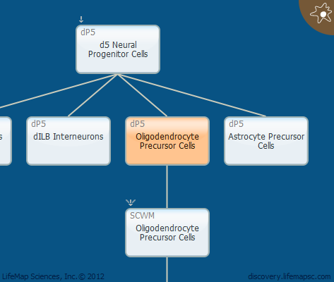 Oligodendrocyte Precursor Cells
