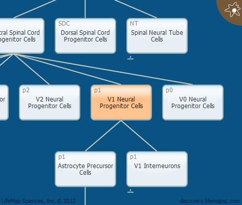 V1 Neural Progenitor Cells