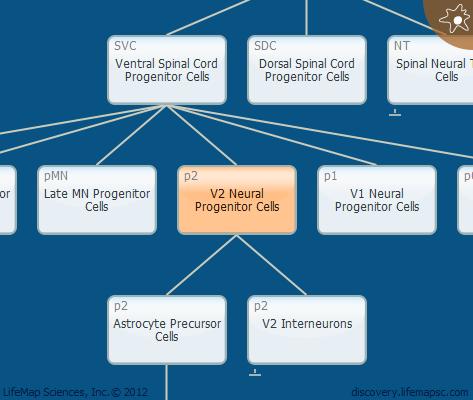 V2 Neural Progenitor Cells