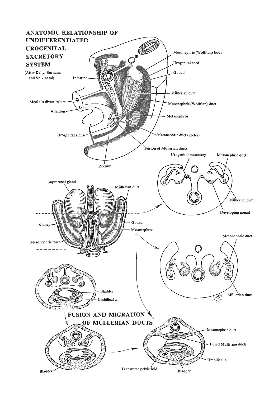 the genital or reproductive system: primive genital tracts and  sex determination: image #1