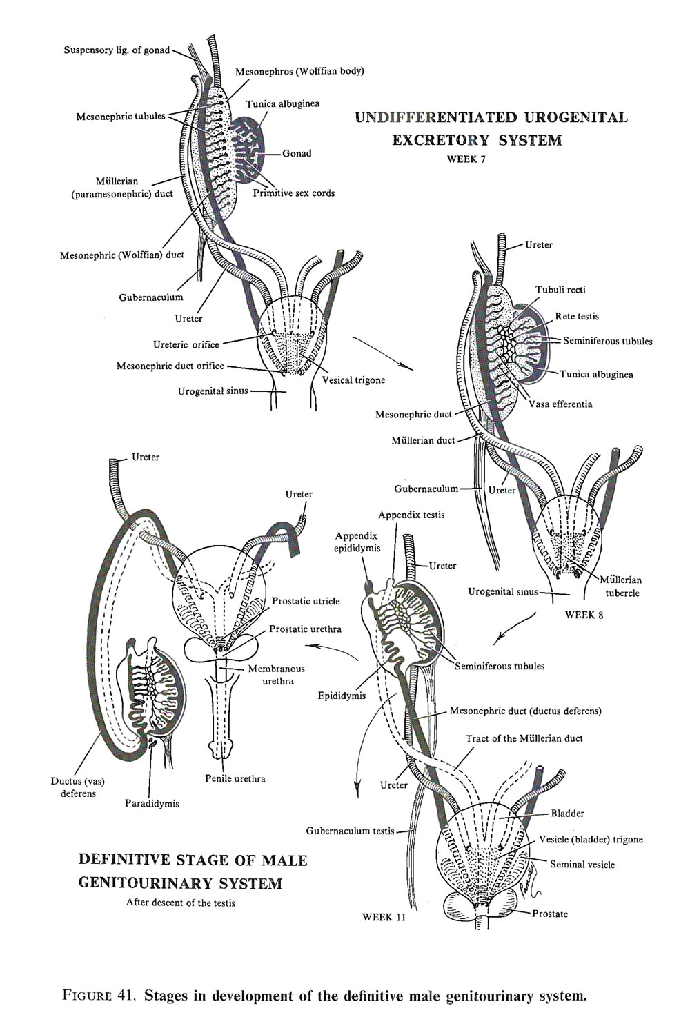 the genital or reproductive system: primive genital tracts and  sex determination: image #2